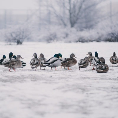 Keeping Ducks Warm in Winter